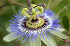 fiore-della-passione